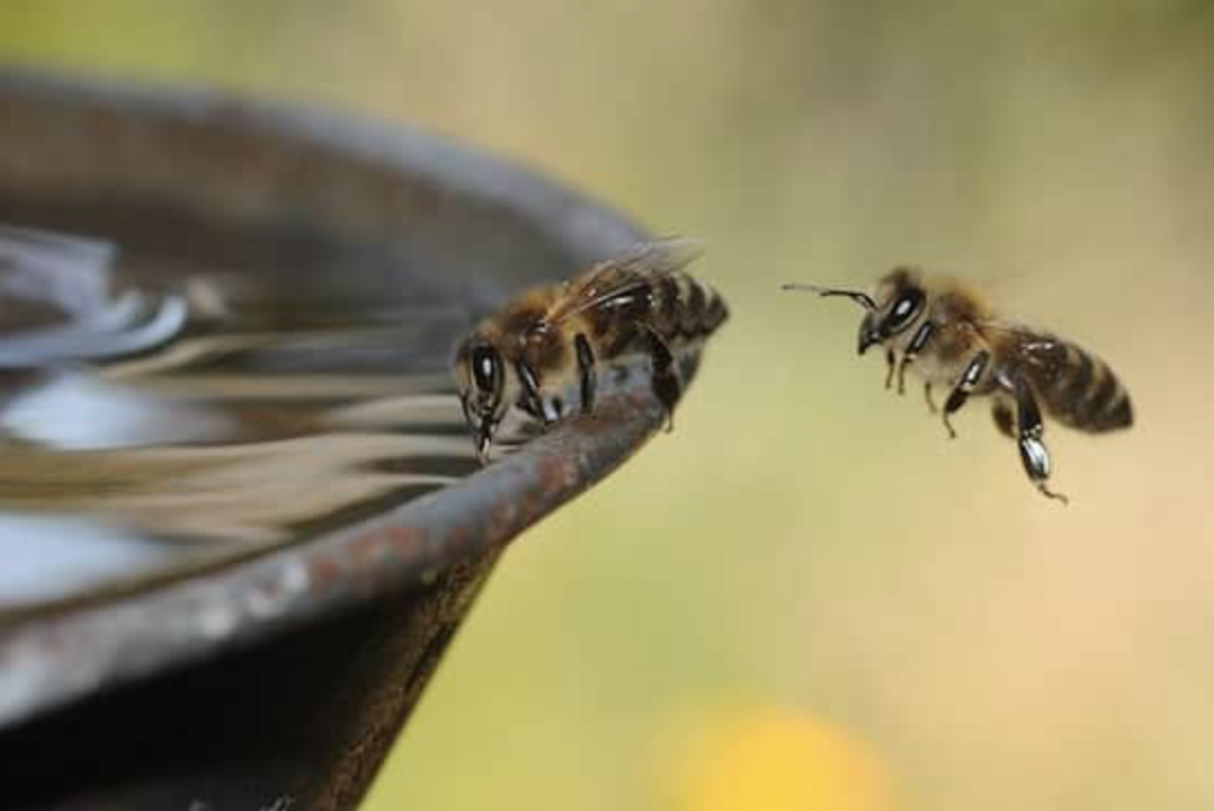Give water to the bees
